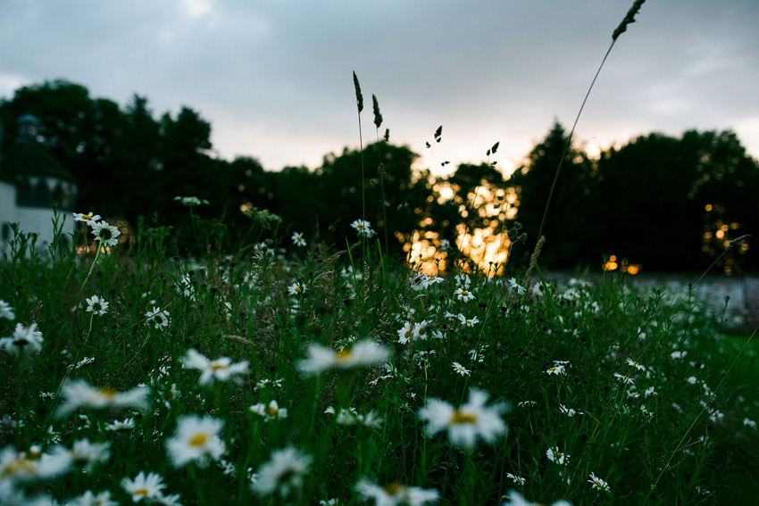 meadow daisies at homme house