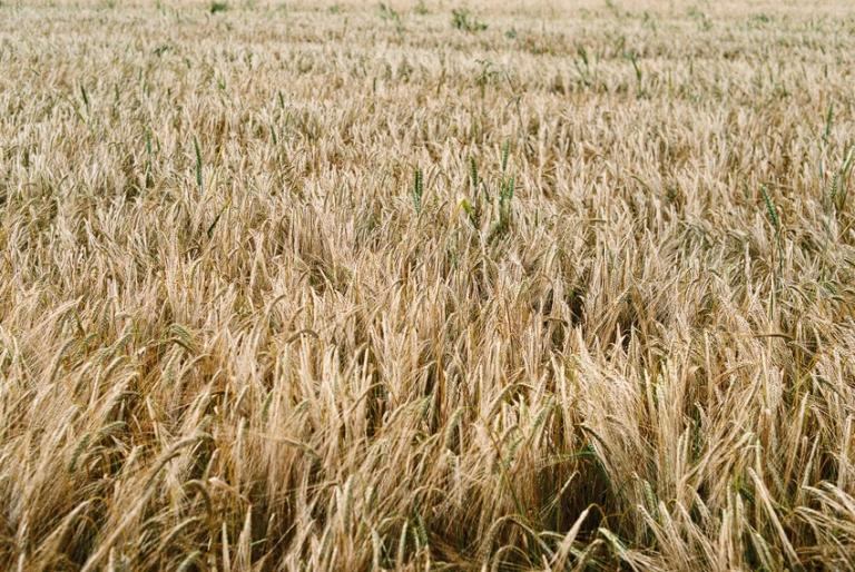 Fuji Superia wheatfield
